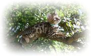Bengal kittens for sale (Pedigree)