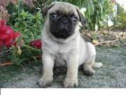 Intelligent pug puppy for loving homes