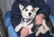 Cute Siberian Husky Puppies For Caring Homes