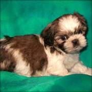 Wow Exotic Shih Tzu Puppies ready for lovely and caring homes
