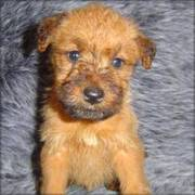 Irish Terrier puppy for sale