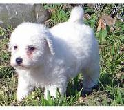 Bichon Fries puppies for sale