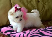 7 Excellent pedigrees,  Maltese Puppies-