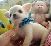Pure Breed Chihuahua Puppies For Sale